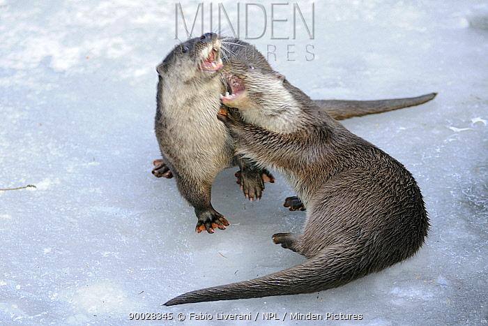 European River Otter (Lutra lutra) fighting, captive, Bayerischer Wald National Park, Germany  -  Fabio Liverani/ npl