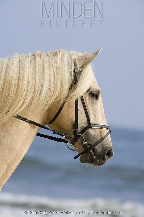 Palomino Andalusian stallion, Ojai, California, USA,  -  Carol Walker/ npl