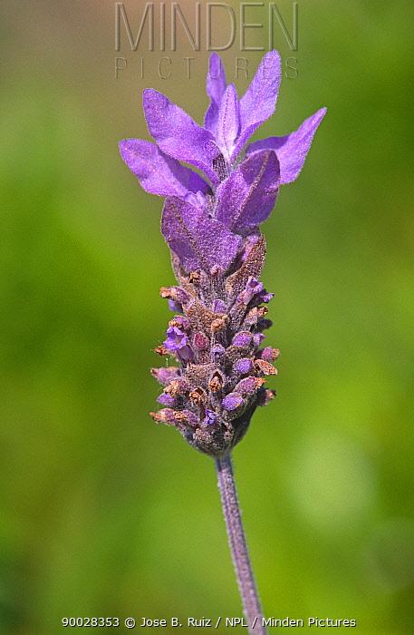 Cut leaved lavender (Lavandula mulitifida) flower head, Spain  -  Jose B. Ruiz/ npl