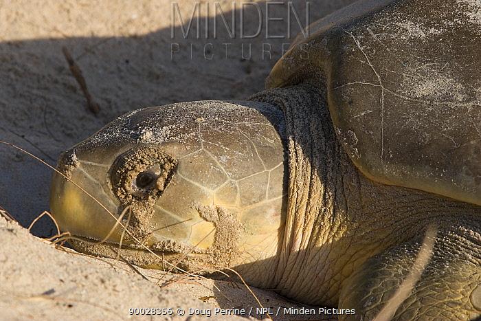 Australian flatback sea turtle (Natator depressus) nesting female with excretions from salt glands leaking out of eyes like tears, Crab Island, Torres Strait, Queensland, Australia  -  Doug Perrine/ npl