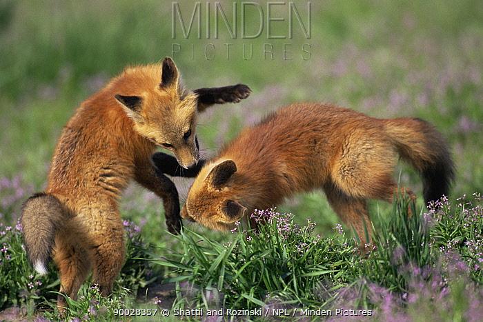 Red Fox (Vulpes vulpes) cubs playing, Rocky Mt Arsenal NWR, Colorado  -  Shattil & Rozinski/ npl
