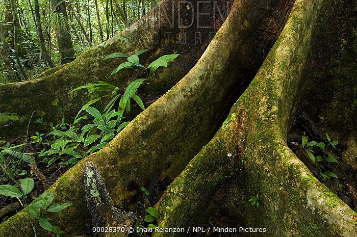Tree roots in the rainforest, Nosy Mangabe Island, Northeast Madagascar  -  Inaki Relanzon/ npl