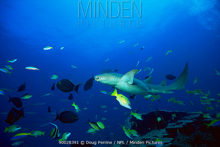 Tawny Nurse Shark (Nebrius ferrugineus) amongst tropical fish, Andaman Sea, Thailand  -  Doug Perrine/ npl