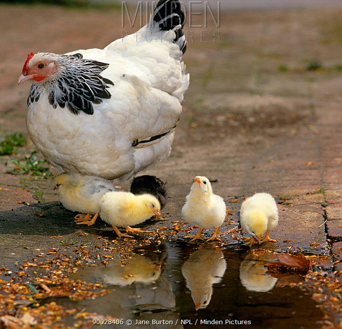 Light Sussex Bantam Hen (Gallus gallus domesticus) with 2-day-old chicks, drinking at puddle  -  Jane Burton/ npl