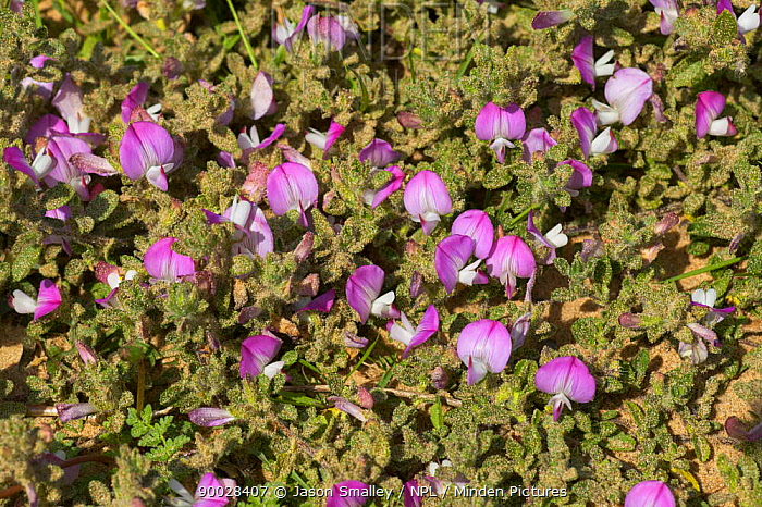 Common restharrow (Ononis repens) in flower, Formby, Merseyside, UK  -  Jason Smalley/ npl