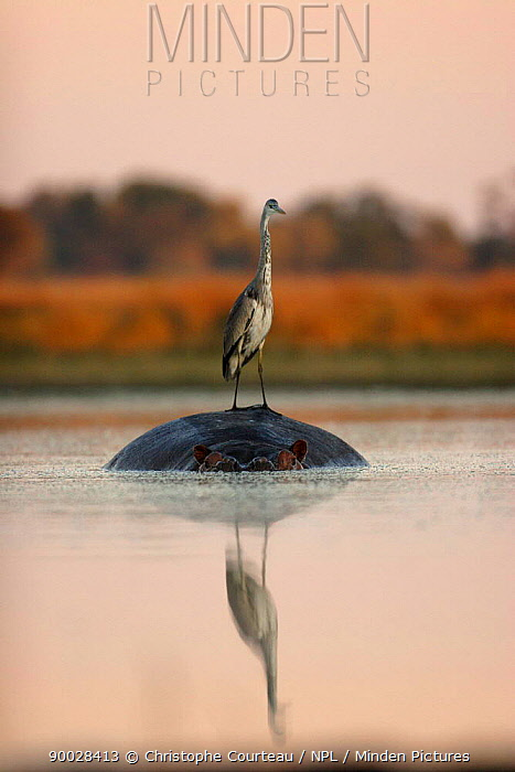 Grey Heron (Ardea cinerea) standing on Hippopotamus (Hippopotamus amphibius) for fishing at Sunrise Northern Okavango Delta, Botswana  -  Christophe Courteau/ npl
