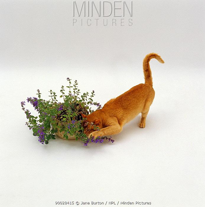 Domestic Cat (Felis catus) Red burmese male 'Ozymandias' luxuriating in the scent of catmint, catnip  -  Jane Burton/ npl