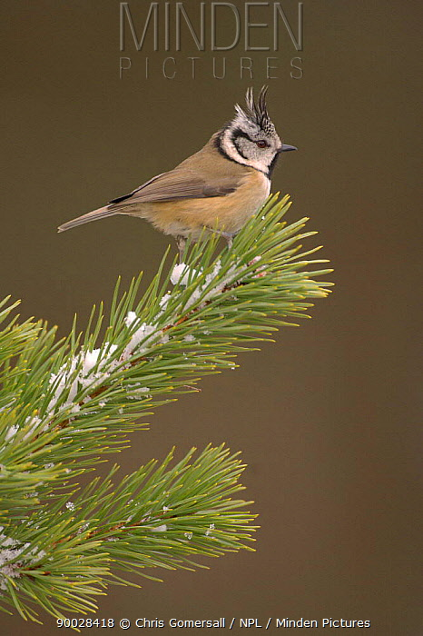 Crested Tit (Parus cristatus) winter adult in Scots pine, Speyside, Scotland United Kingdom  -  Chris Gomersall/ npl