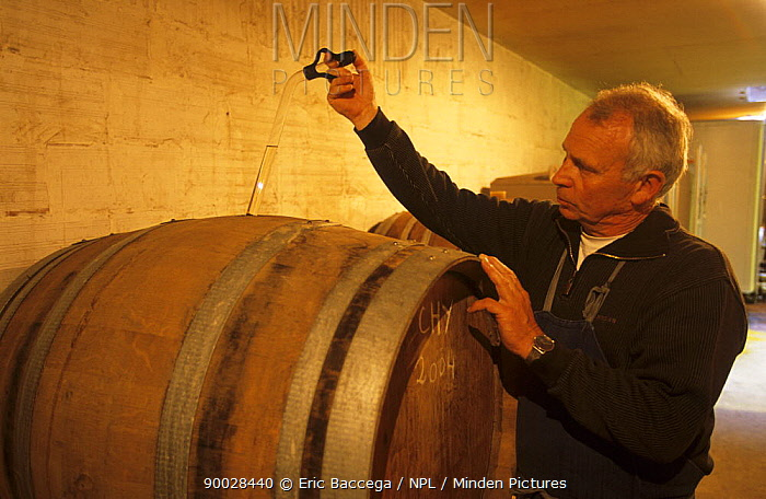 Francis Boyer testing his champagne in oak barrels, Chouilly, C?te de Blancs vineyard, Champagne country, France 2006  -  Eric Baccega/ npl
