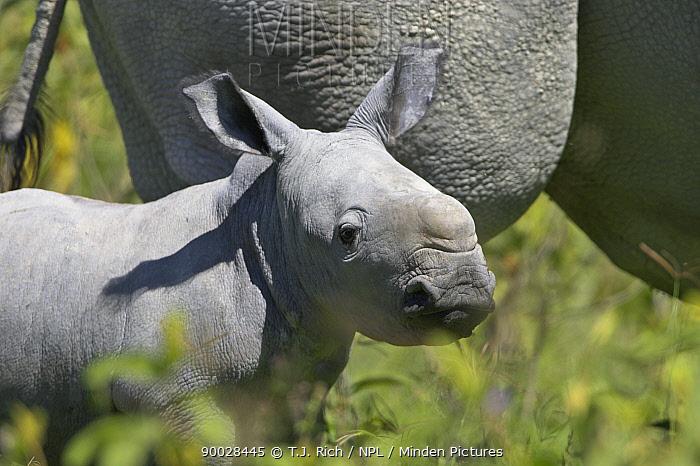 White Rhinoceros (Ceratotherium simum) baby, Lake Nakuru National Park, Kenya  -  T.J. Rich/ npl