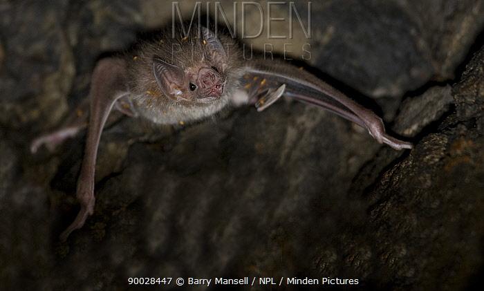 Vampire Bat (Desmodus rotundus) with bat flies, Mexico  -  Barry Mansell/ npl