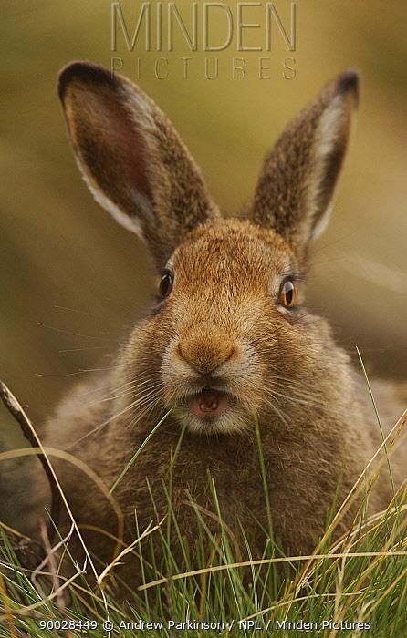 Mountain Hare (Lepus timidus) sub-adult leveret feeding on grass, Summer coat Peak District National Park, Derbyshire, United Kingdom  -  Andrew Parkinson/ npl