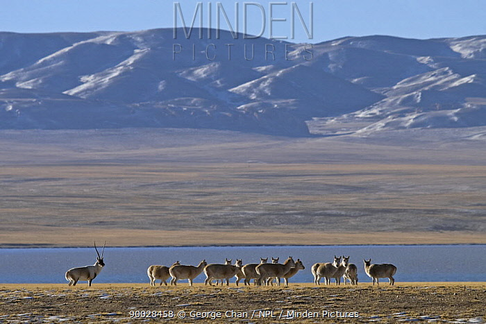 Chiru (Pantholops hodgsonii) male guarding his female harem during the rutting season in the Chang Tang nature reserve of central Tibet  -  George Chan/ npl