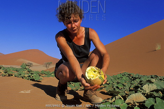 Watermelon (Citrullus lanatus) held by woman that has been partially eaten by an animal, Namib Naukluft National Park, Namib desert, Namibia  -  Jouan & Rius/ npl