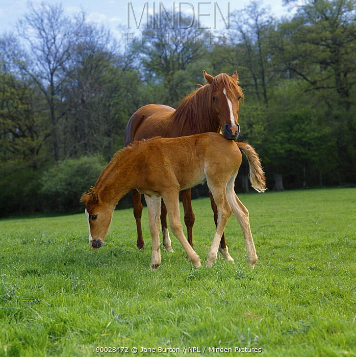 British show pony chestnut mare and colt foal (45-days) in field, mare annoyed as her foal pushes past her while she was grazing, UK  -  Jane Burton/ npl