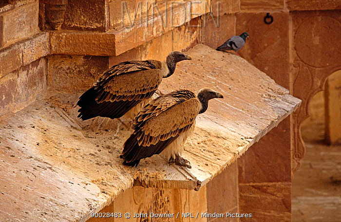 White-rumped Vulture (Gyps bengalensis) on building India  -  John Downer/ npl
