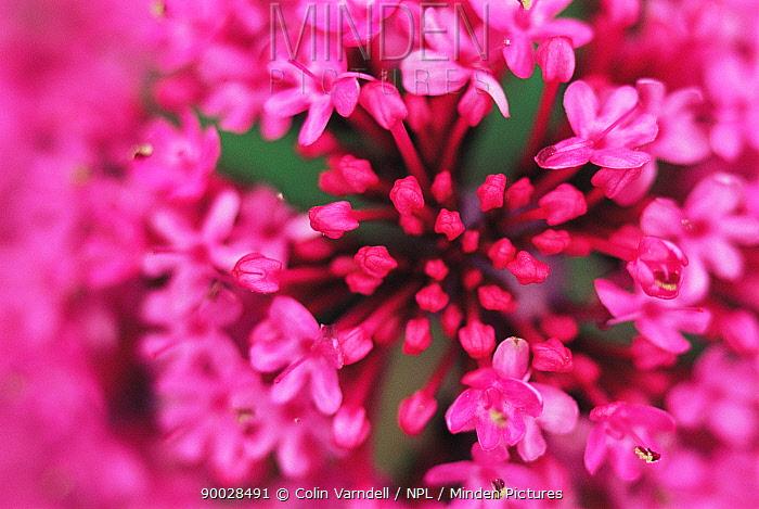 Red valerian flowers close-up (Centranthus ruber) UK  -  Colin Varndell/ npl