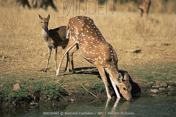 Axis Deer (Axis axis) hind and calf, Female drinking India  -  Bernard Castelein/ npl