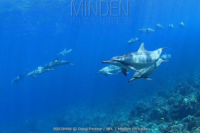 Pod of Hawaiian spinner dolphin, Gray's spinner dolphin (Stenella longirostris longirostris)  -  Doug Perrine/ npl