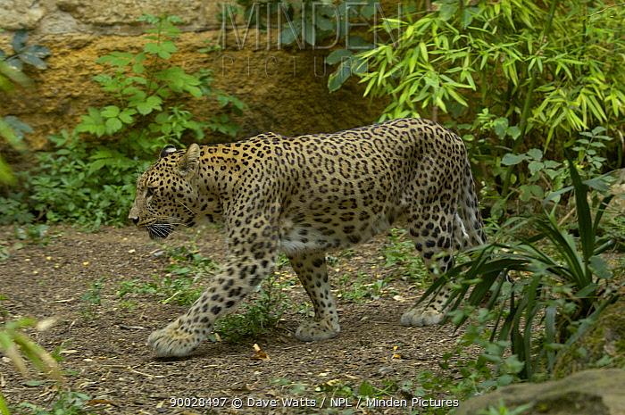 Persian Leopard (Panthera pardus saxicolor)  -  Dave Watts/ npl