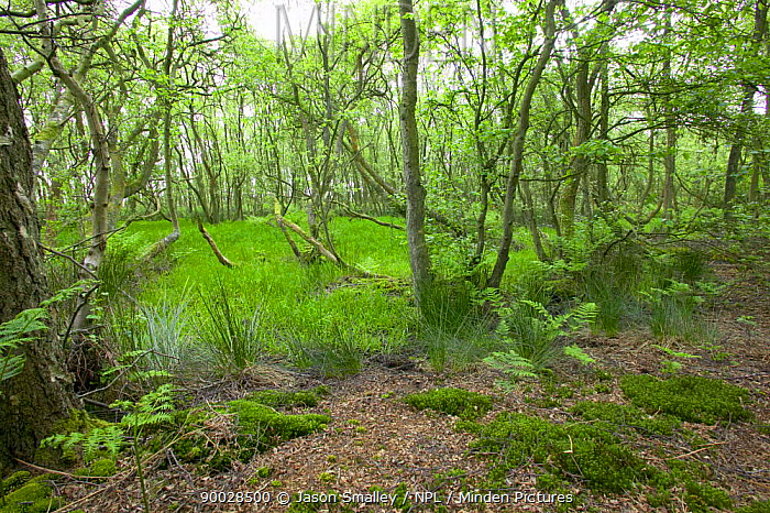 woodland growing on damp ground alongside a raised bog, with moss and birch, UK  -  Jason Smalley/ npl