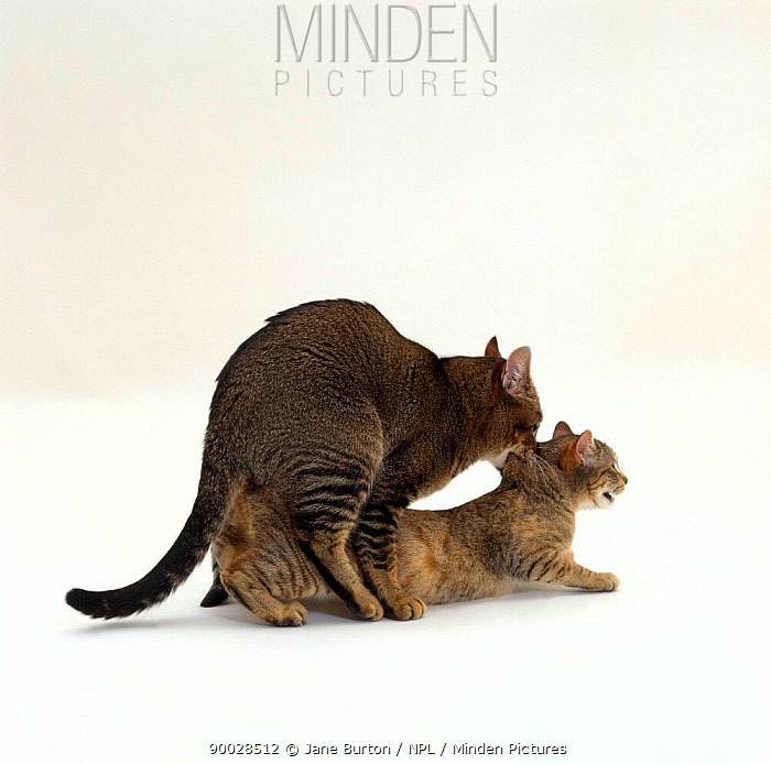 Domestic Cat (Felis catus), Ticked tabby male 'Mowgli' holding female 'Dainty' by scruff of neck while mating  -  Jane Burton/ npl
