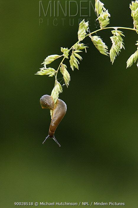 European Black Slug (Arion ater) attached to grass by slime, Bristol, United Kingdom  -  Michael Hutchinson/ npl
