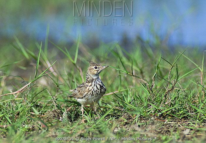 Eurasian Skylark (Alauda arvensis) in grass, Evora, Portugal  -  Roger Powell/ npl