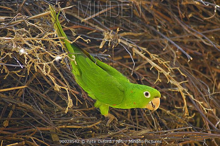 White-eyed parakeet (Aratinga leucophthalmus)  -  Pete Oxford/ npl