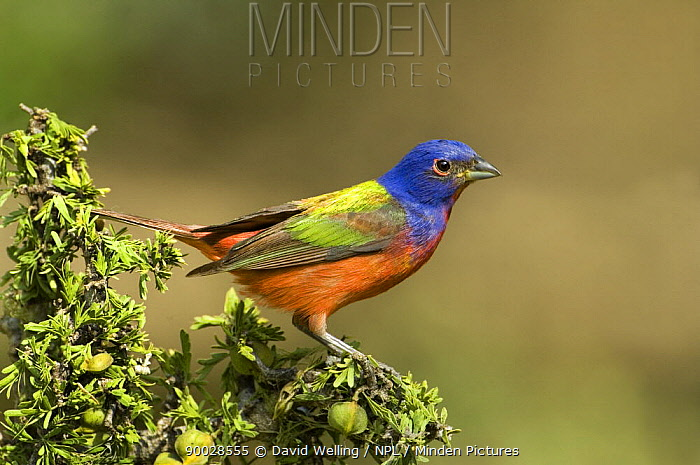 Painted Bunting (Passerina ciris) male, Rio Grande Valley, Texas  -  David Welling/ npl
