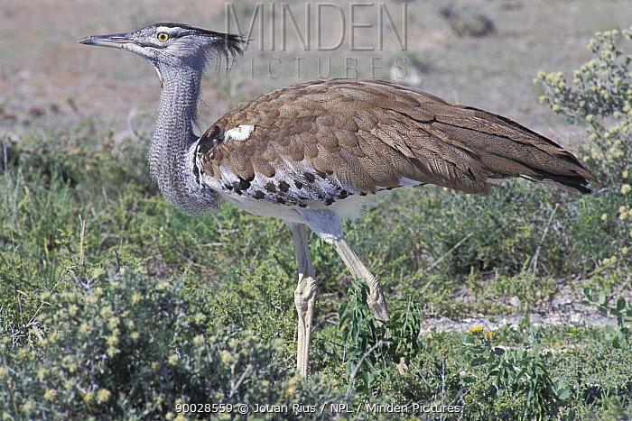 Kori Bustard (Ardeotis kori), during rainy season, Etosha NP, Namibia  -  Jouan & Rius/ npl