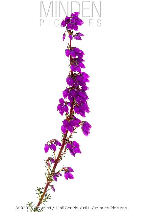 Bell Heather (Erica cinerea) in bloom, Scotland United Kingdom  -  Niall Benvie/ npl
