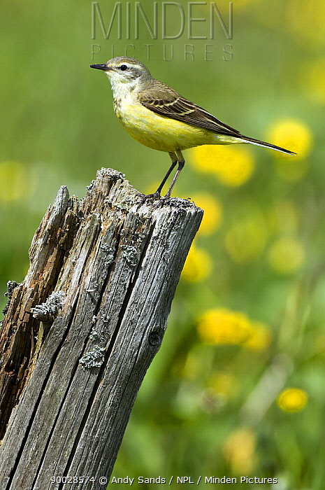 Blue-headed Wagtail (Motacilla flava) female perched on old fence post, Upper Teesdale, Co Durham, England United Kingdom  -  Andy Sands/ npl