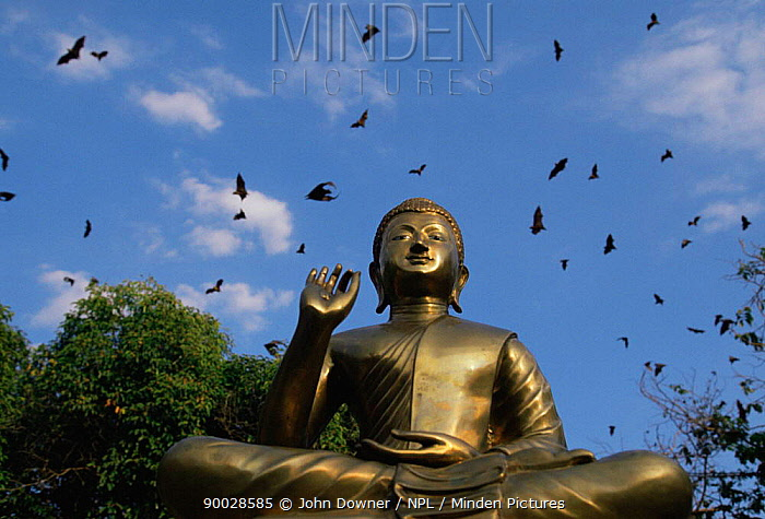 Flying foxes in sky around statue of Buddha at Buddhist Temple, Thailand  -  John Downer/ npl