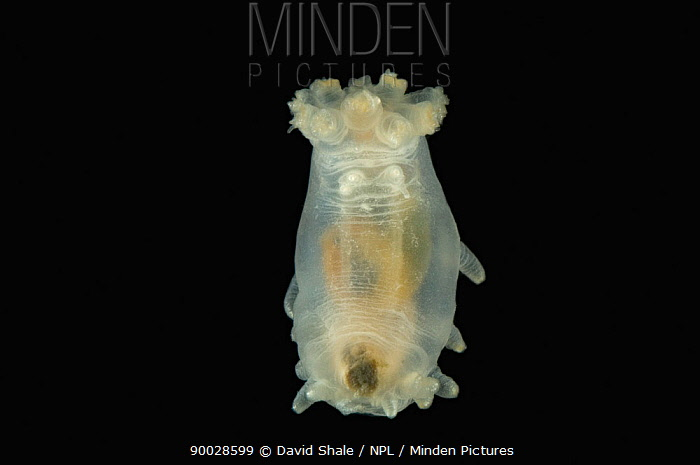 (Peniagone sp) deep sea holothurian, sea cucumber ventral view, mid-Atlantic ridge, deep sea Atlantic ocean  -  David Shale/ npl