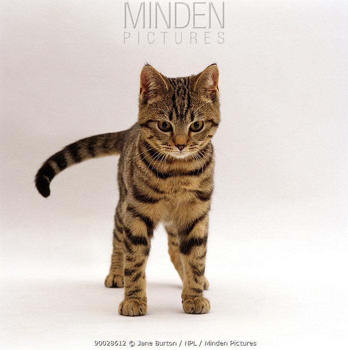 Domestic Cat (Felis catus) Brown tabby cat 'Lowlander', lashing tail while watching something  -  Jane Burton/ npl