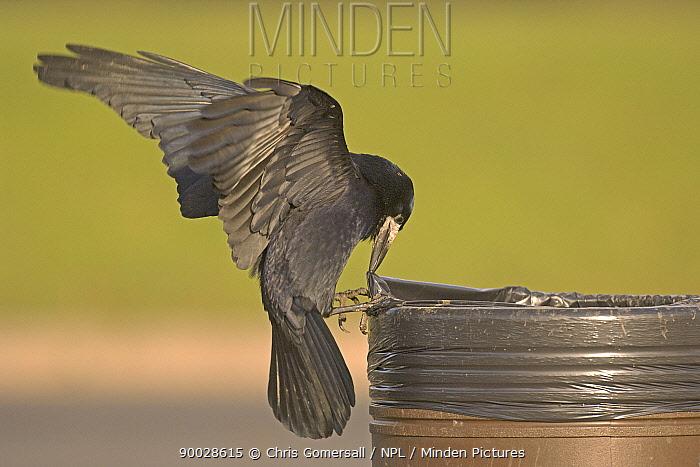 Rook (Corvus frugilegus) adult scavenging litter bin at motorway service station, United Kingdom  -  Chris Gomersall/ npl
