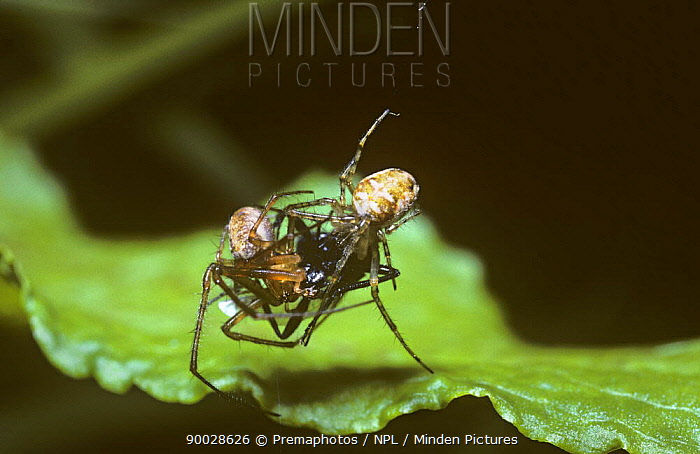 Spring orb weaver spider (Meta mengei) male (left) courting female over the corpse of a fly in her web, UK  -  Premaphotos/ npl