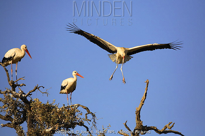 White Stork (Ciconia ciconia) taking off from tree, Donana National Park, Sevilla, Spain  -  Jose B. Ruiz/ npl