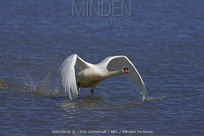 Mute Swan (Cygnus olor) adult taking flight Norfolk, England  -  Chris Gomersall/ npl