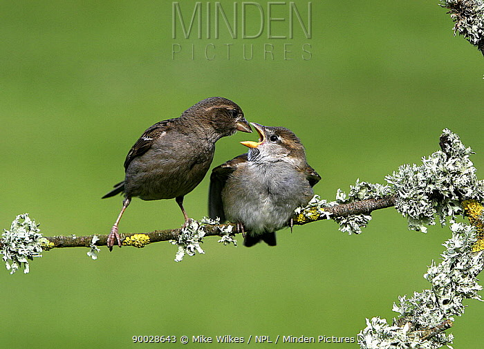 House Sparrow (Passer domesticus) feeding chick on branch, St Marys Isles of Scilly, United Kingdom  -  Mike Wilkes/ npl