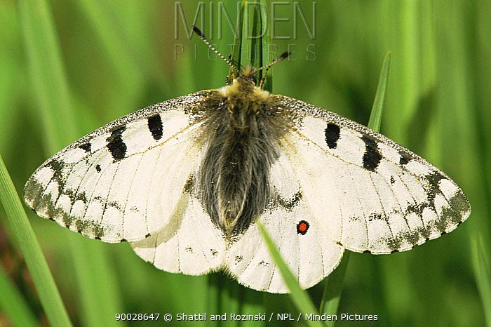 Common phoebus butterfly (Parnassius phoebus) Colorado, USA  -  Shattil & Rozinski/ npl