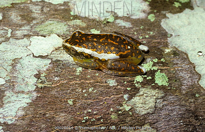 Reed Frog (Hyperolius sp) on lichen-covered log in the Shimba Hills, Kenya  -  Premaphotos/ npl
