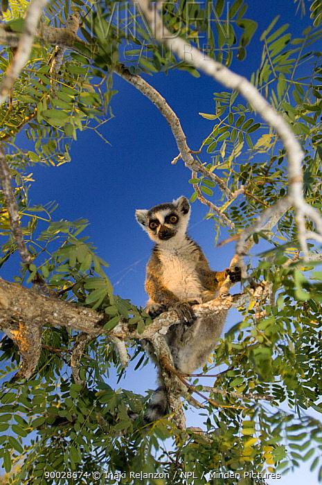 Ring-tailed Lemur (Lemur catta) looking down from a tree, Itampolo, South Madagascar  -  Inaki Relanzon/ npl