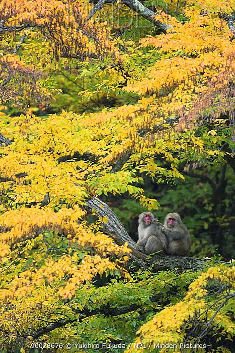 Japanese Macaque (Macaca fuscata) male grooming female in courtship in autumn tree, Jigokudani, Nagano, Japan  -  Yukihiro Fukuda/ npl