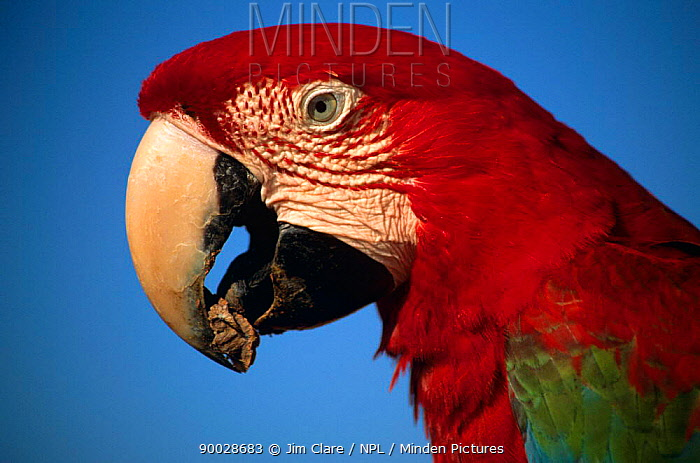 Red and Green Macaw (Ara chloroptera) eating clay for mineral content Peru, Tambopata-Candamo  -  Jim Clare/ npl