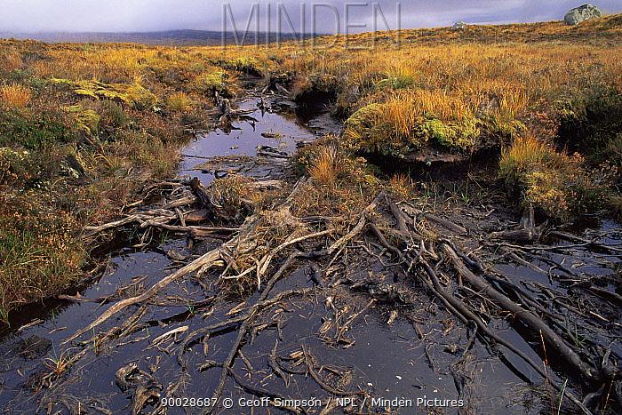 Ancient Scots pine in acidic bog (Pinus sylvestris) Rannoch moor, Scotland, UK  -  Geoff Simpson/ npl