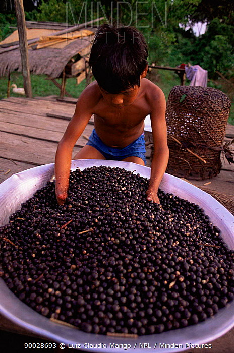 Preparing juice from Assahi palm tree fruits (Euterpe oleracea) Amazonas, Brazil  -  Luiz Claudio Marigo/ npl