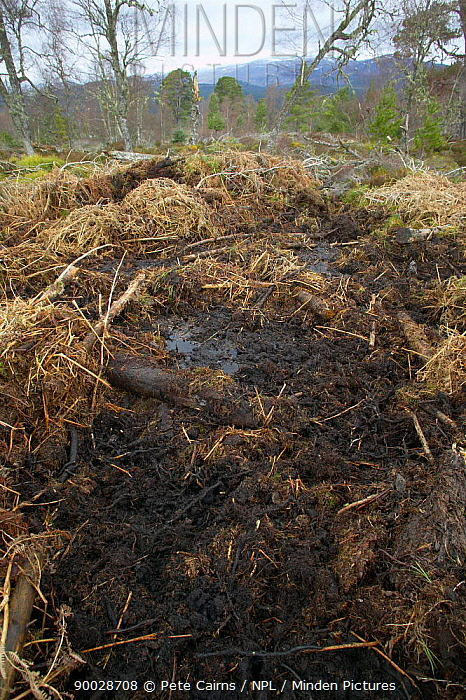 Wild Boar (Sus scrofa) bedding area in experimental woodland project, Glen Affric, Scotland United Kingdom  -  Pete Cairns/ npl