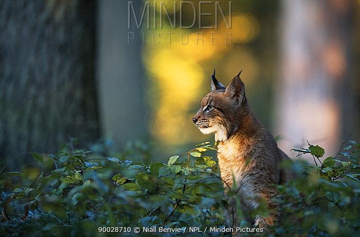 Eurasian Lynx (Lynx lynx) young male in mixed forest, Sumava National Park, Bohemia, Czech Republic  -  Niall Benvie/ npl